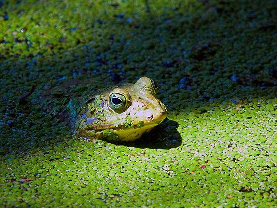 Image result for swamp frog